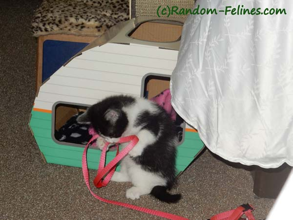black and white tuxedo kitten wrestles with harness