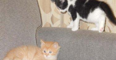 black and white tuxedo kitten looks at orange tabby kitten