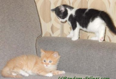 black and white tuxedo kitten looks at orange tabby kitten
