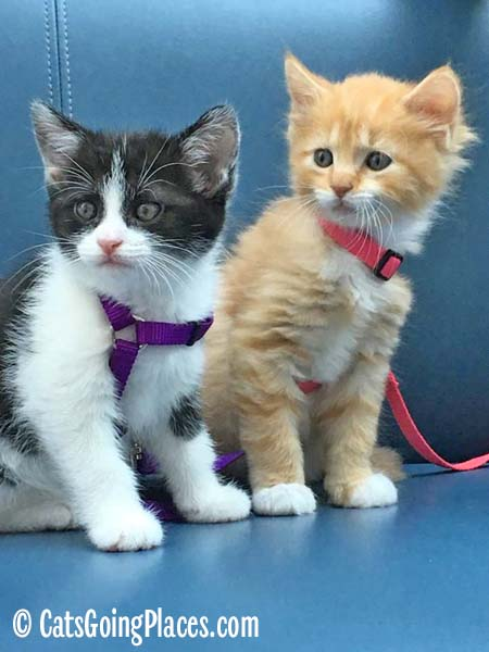 black and white tuxedo kitten and orange tabby kitten