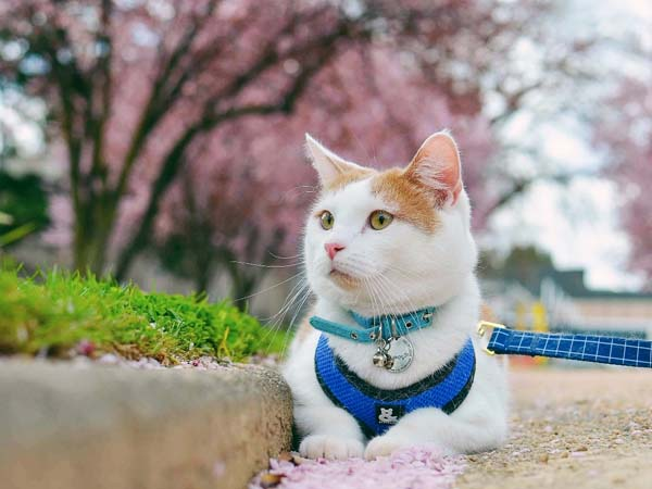 orange and white cat with pink flower petals. Photo credit catexplorer.com.