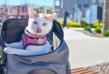 white and orange cat in backpack. Photo credit catexplorer.com.