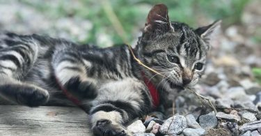 tabby kitten bites twig