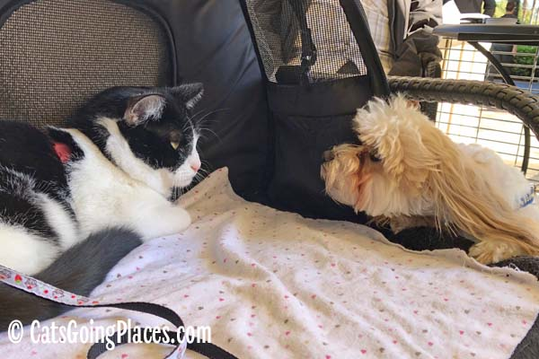 black and white tuxedo cat looks at white dog