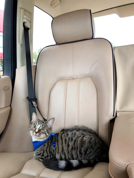 tabby-and-white cat sits in car
