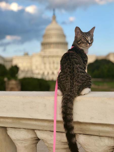 tabby-and-white cat sits in front of Capitol building
