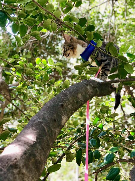 tabby cat on leash climbs tree