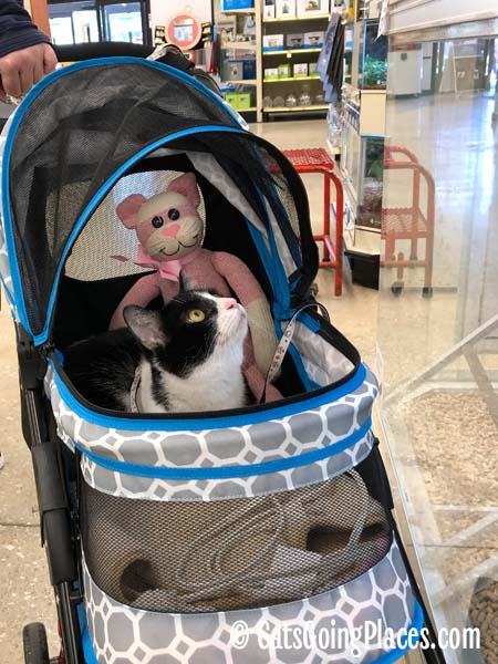 black and white tuxedo cat in stroller looks upward