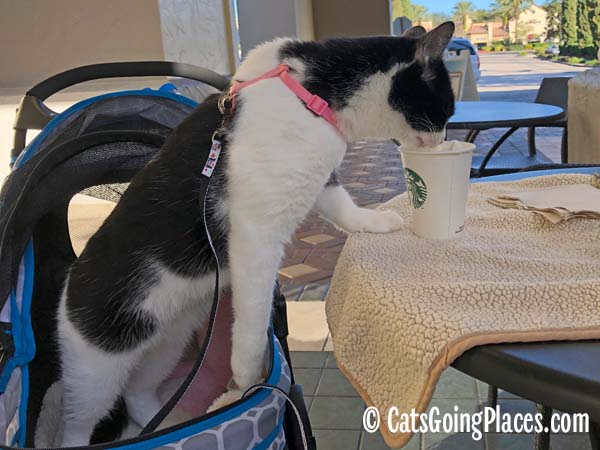 black and white tuxedo cat steps out of stroller and onto table to eat from cup