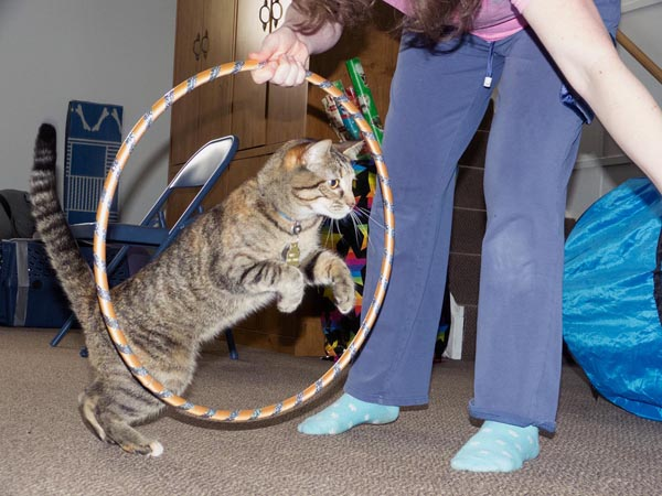 tabby cat leaps through hoop