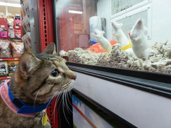 tabby cat looks into enclosure full of mice