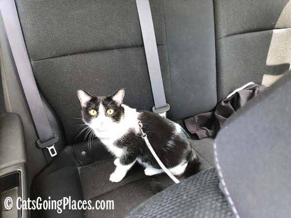 black and white tuxedo cat sits in back seat of car