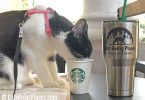 black and white tuxedo cat drinks out of starbucks cup