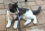 black and white tuxedo kitten wearing pink roman harness