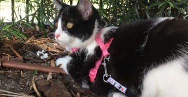 black and white tuxedo cat at edge of patio