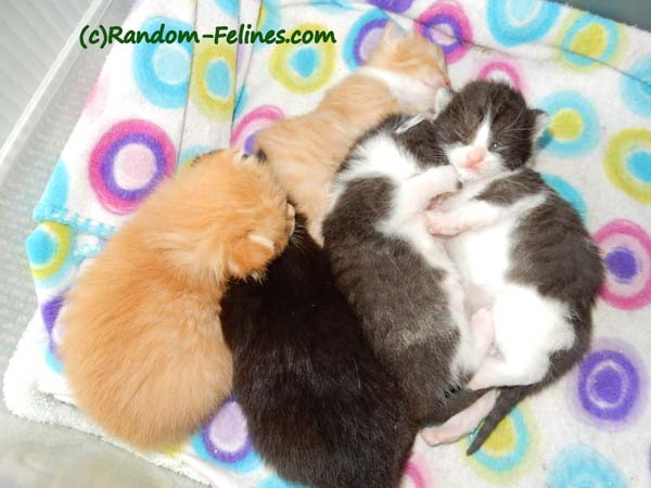 Litter of black and white and orange kittens