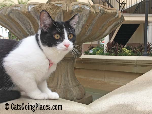black and white tuxedo kitten sits on edge of fountain